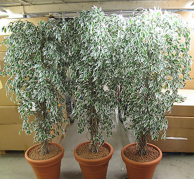 3 x Artificial Plastic Variegated Leaf 7ft Tall Tree Plant Office Showroom Work